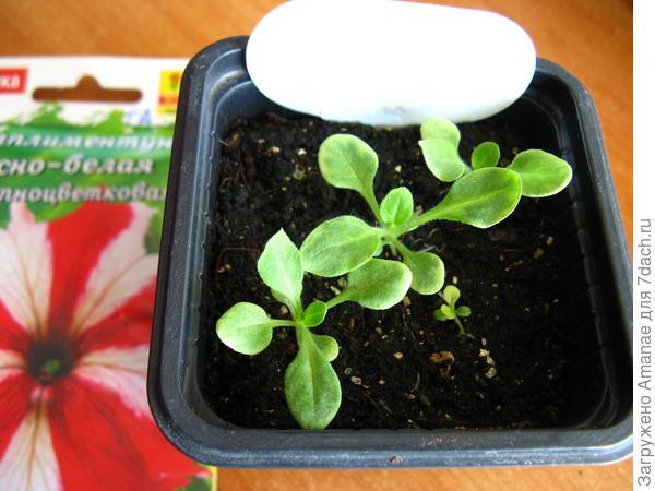 Развитие растений до пикировки