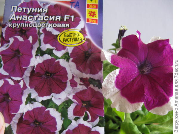 Анастасия, 100% цвет