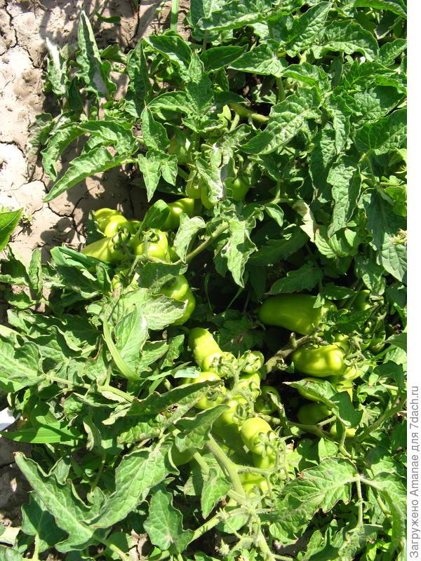 Томат Весёлый гном, пока ещё зелёный