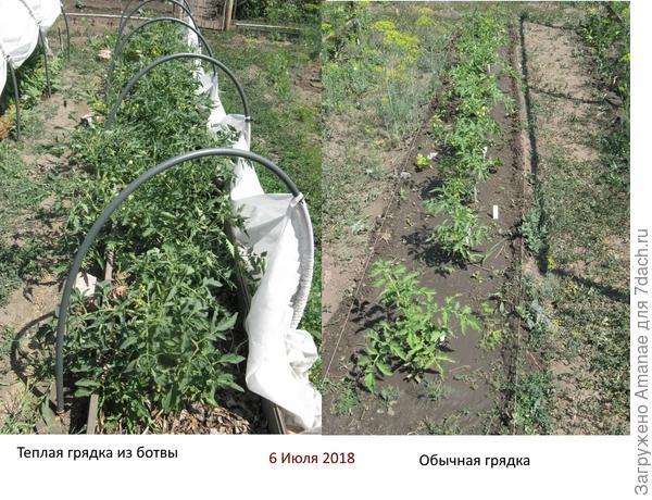 Сравнение развития помидор на тёплой грядке и обычной