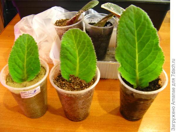 листья глоксинии укореняются в цеолите, вермикулите, живой земле. Уже видна разница в росте листьев.