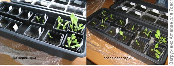 Салат до и после пересадки