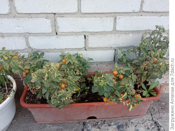 Великан и лилипут среди томатов - плодоношение 'Пурпурной свечи' и 'Деток-конфеток'