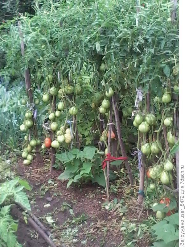 В июле. Спелые в 1-ой и 2-ой кисти сорваны, фотографировала после сбора урожая.