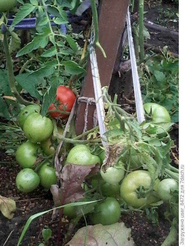 Низкорослый томат.