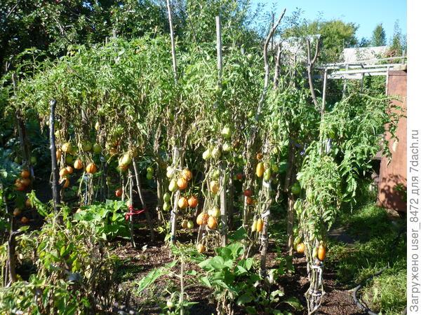 Эти же помидоры в августе. Уже две нижних кисти не полные.