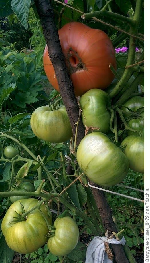 На этом кустике выросло и поспело 20 крупных помидоров.
