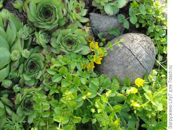 Молодило среди почвопокровных растений. Личное фото.