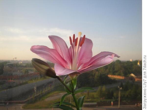 Цветок лилии -1