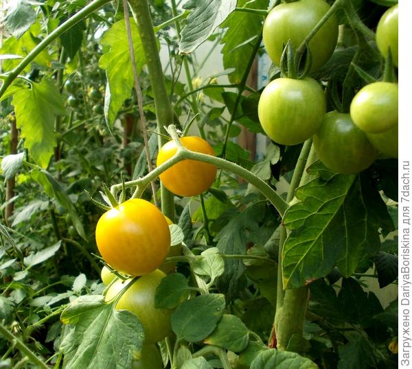 """Постепенно вызревающие помидоры сорта """"Черри желтые"""""""