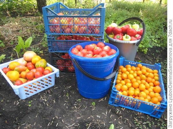 мой урожай помидоров