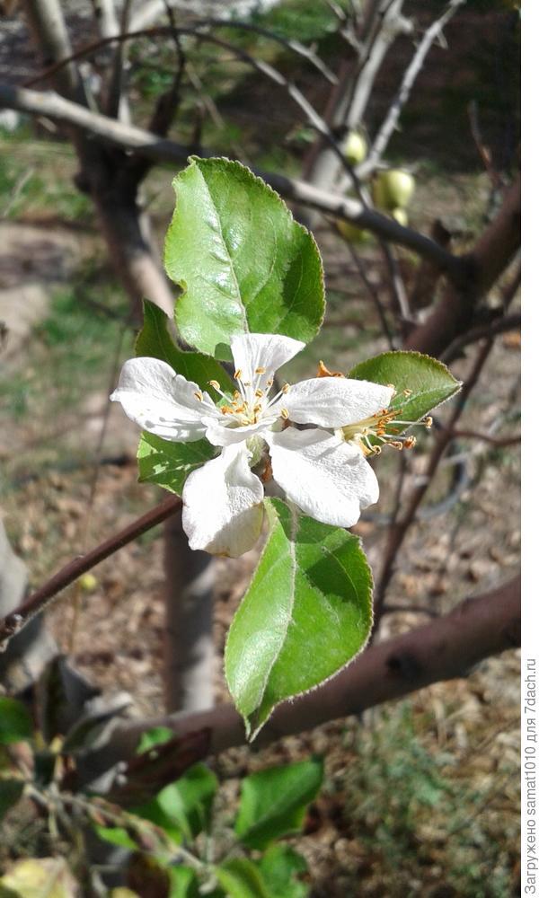Цветет яблоня осенью