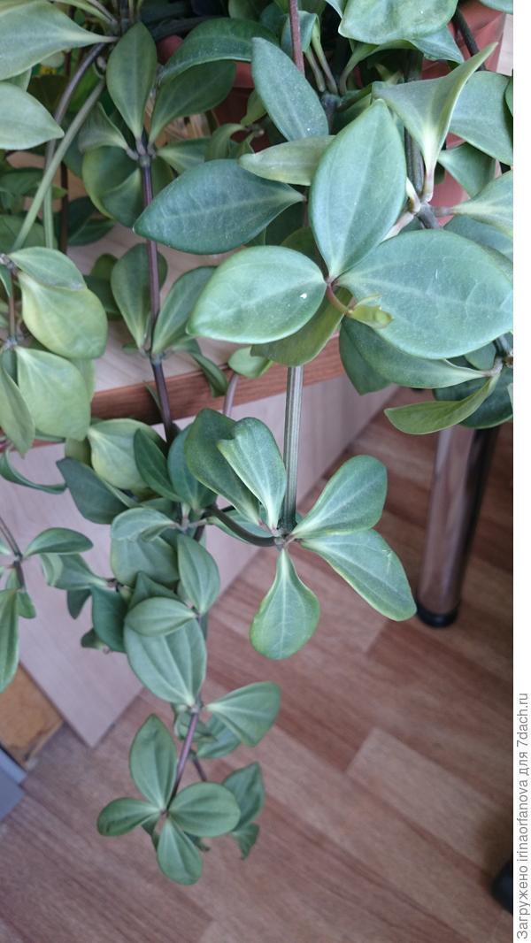 Комнатное ампельное растение