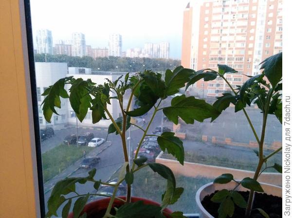 Помогите определить, что с моими томатами — стали закручиваться листья