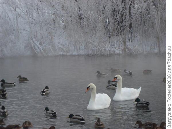 лебеди на Кабане