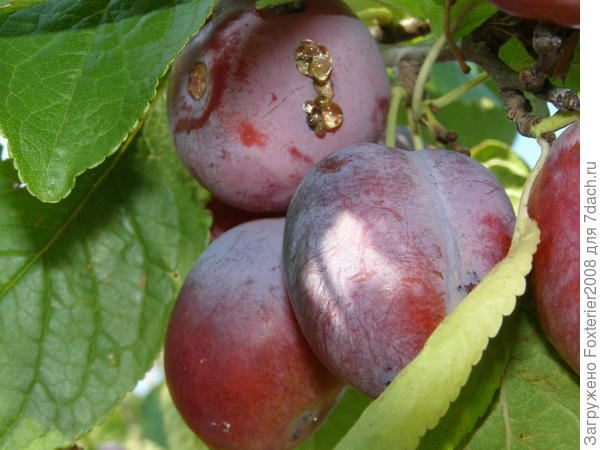 Камедь на плодах