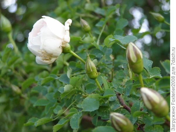 роза из шестидесятых