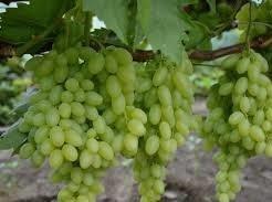 виноградик