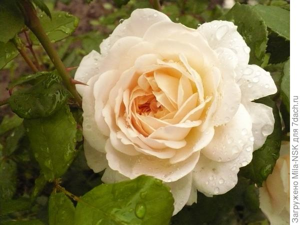 Крокус розе
