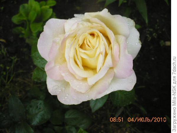 Глория Дей-первый цветок