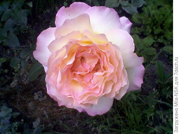 Глория дей - второй цветок, 26 июля