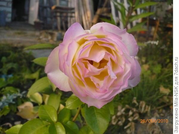 Глория дей-третий цветок, сентябрь