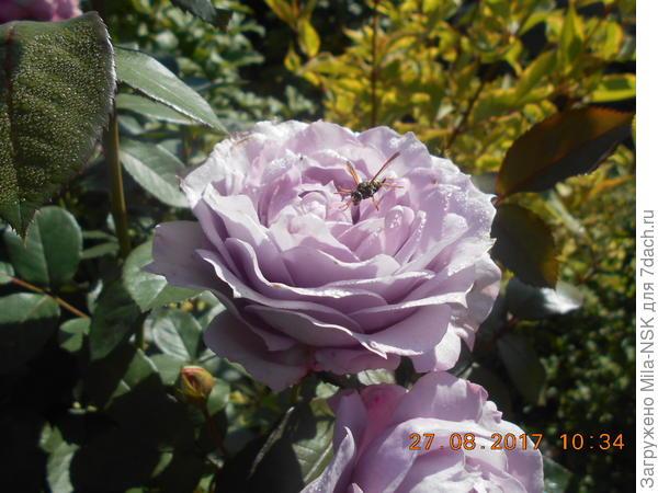 Новалис и... пчелка