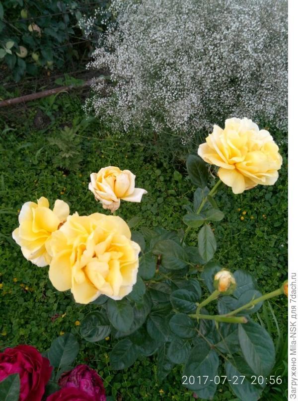 Роза Элина на фоне махровой гипсофилы