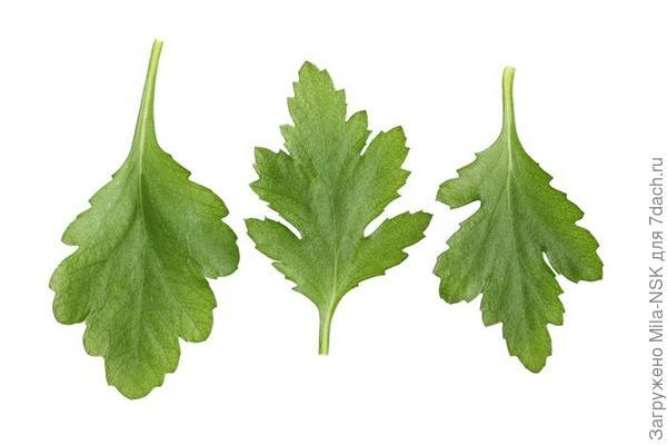 У хризантем лист резной