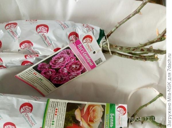 Состояние роз хорошее. Стебли зеленые, с небольшими ростками.