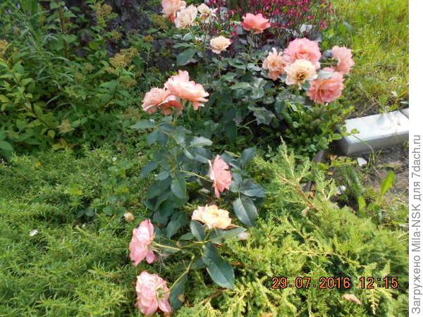 Вот здесь слева от розы виден флокс шиловидный, а справа можжевельник
