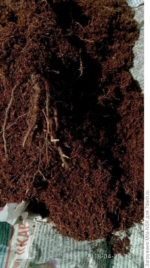 Аккуратно освободила розочку от кокосового одеяла. Как видим, на корнях появились белые всасывающие корешки.