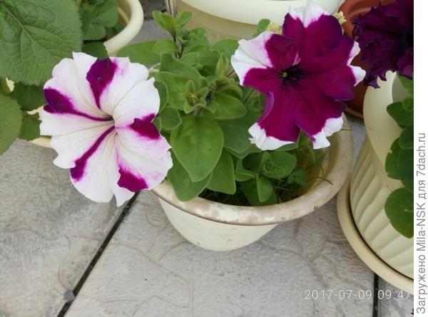 """""""близняшки"""": третий цветочек виден справа, он чисто филетовый. И все на одном кустике. По описанию должен быть бордовый с белыми полосками посередине вдоль лепестка. Он тоже был, но позже."""