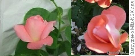 Вот справа фотка из Энциклопедии роз. И по форме и по цвету практически один в один, как у вас.  Поэтому говорить отом. что пересорт, рано.