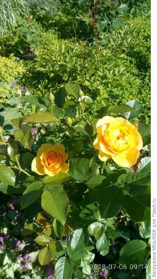 роза Абсолют Фабулос