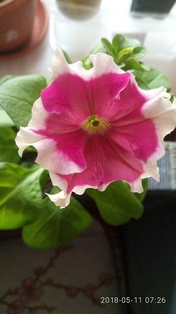 Один из первых цветочков. Именно он похож на описанного производителем.