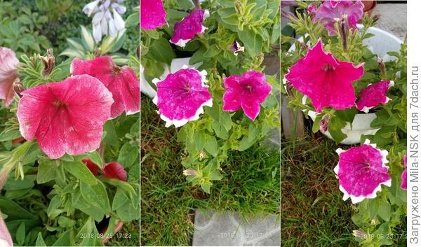 Различие окраски цветов на одном растении. 25 августа