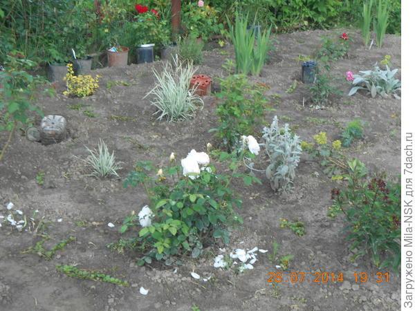 Вот это в июле 2014, я сделала свой первый розарий и потыкала в него кусочки вербейника. Его видно, он зелененькими кусочками выделяется.