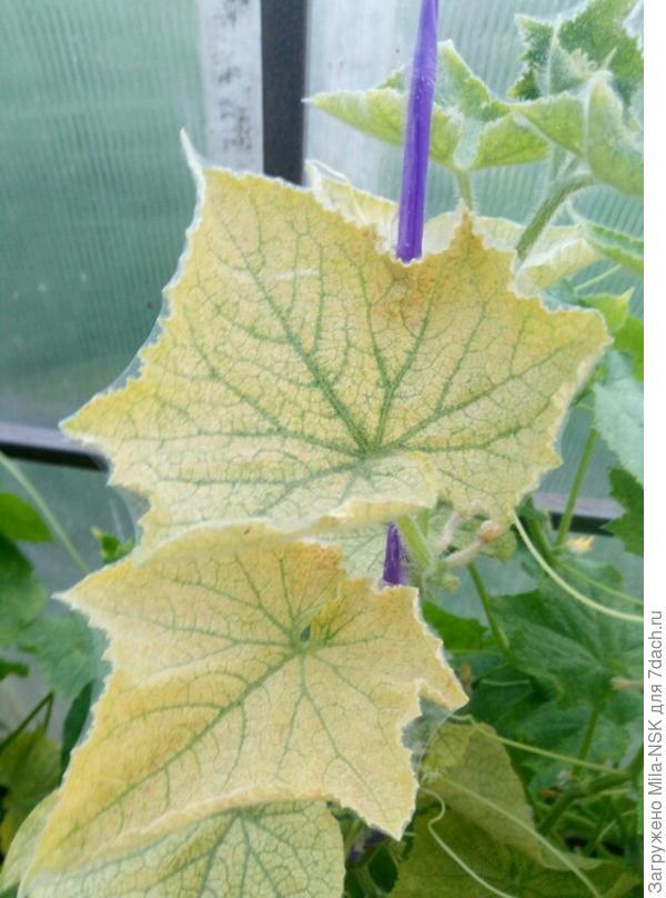 Листья нормальные, живые, но вот такие, хлорозные.