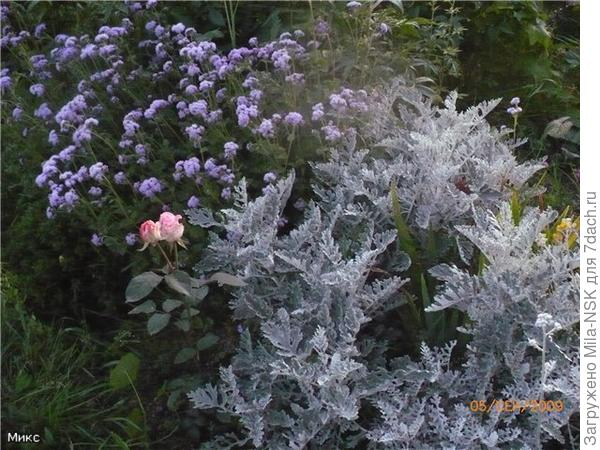 Цинеррария и агератум. Хоть и неприхотливы, но выращивать нужно через рассаду.