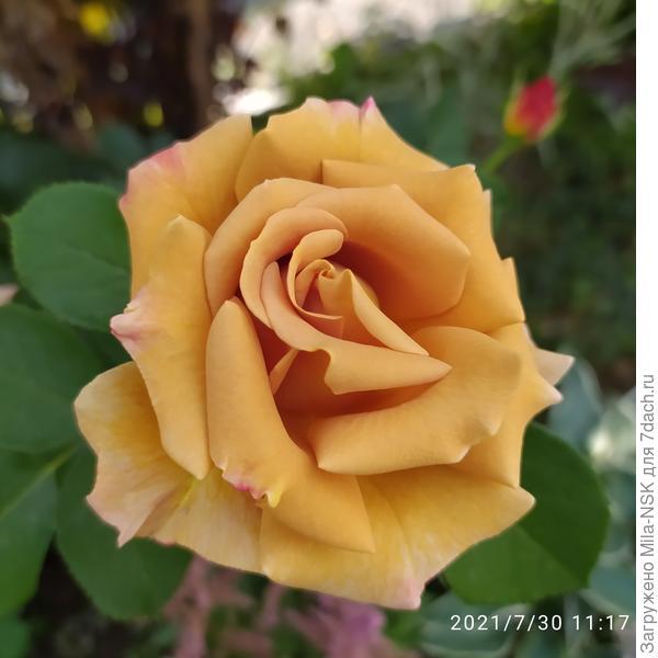Роза Honey Dijon