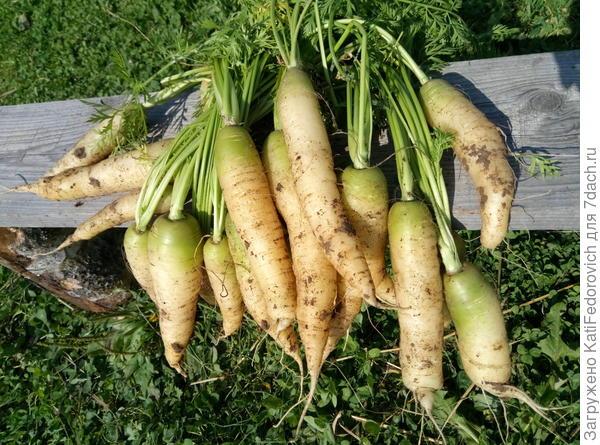 Белая морковь.