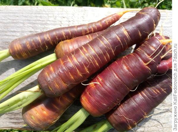 Морковь Пурпурный эликсир