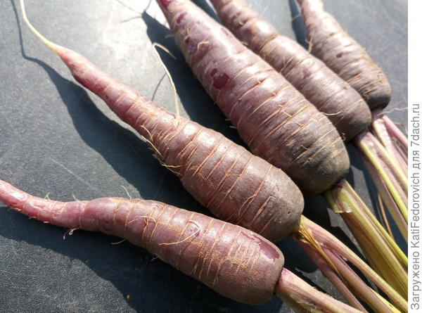 Морковь Пурпур