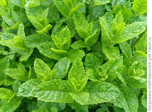У мяты марроканской красивые гофрированные листья
