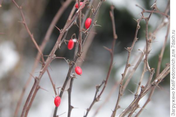 ягодки барбариса