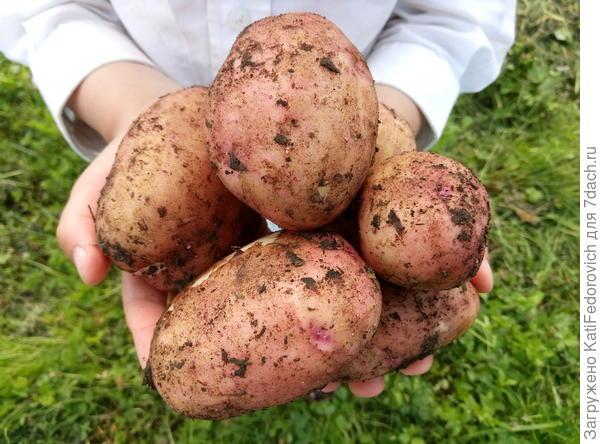 Первая картошечка