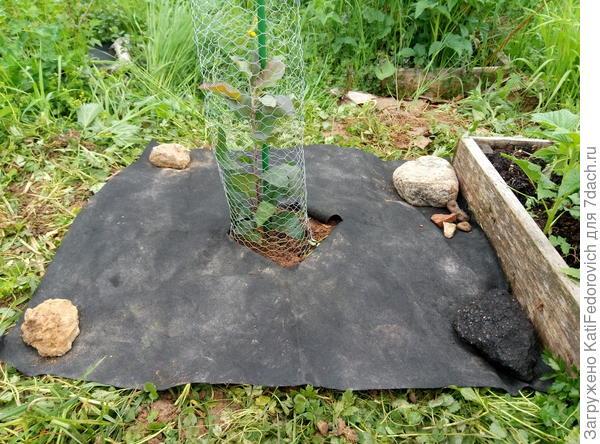 Выглядит не глянцево, зато сорняки не забьют яблоньку, а спанбонд не унесет ветром вместе с саженцем