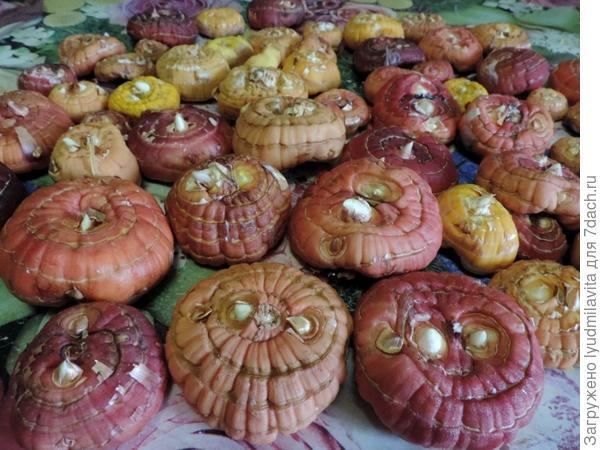 луковицы гладиолусов.