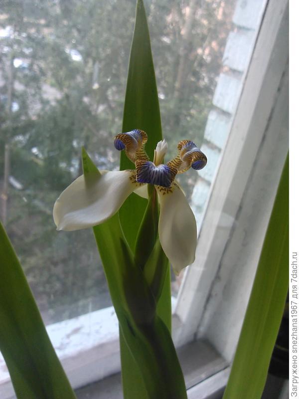 вот так он цветёт